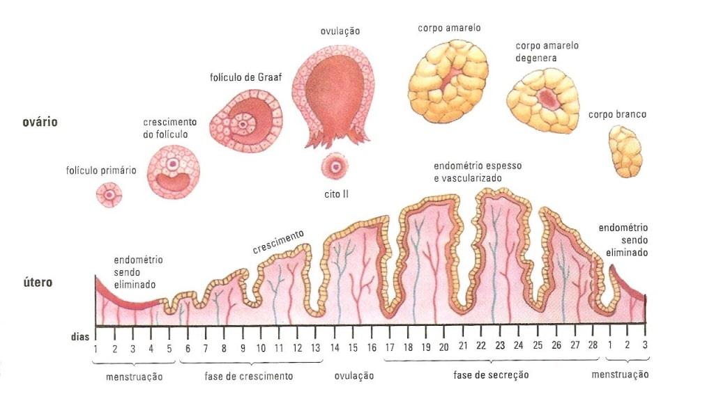 Ciclo Menstrual - Alterações do Útero e Ovários